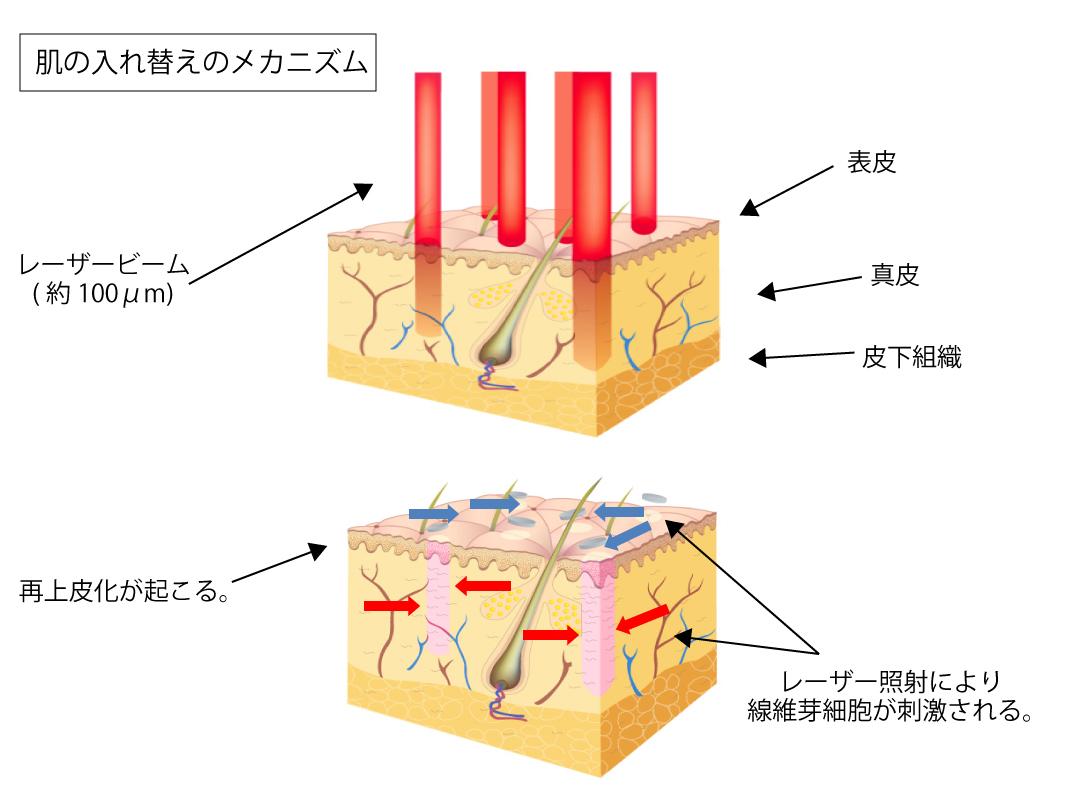 肌の入れ替えのメカニズム